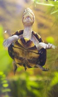 Kinosternon cruentatum - Rotwangenklappschildkröte (kleine